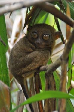 Bohol: Chocolate Kisses and Yoda